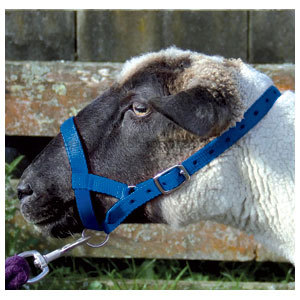 Halter Webbing Sheep Large Blue