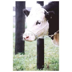 Halter Hackamore Calf (White)