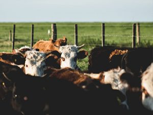 Cattle Stock Prods